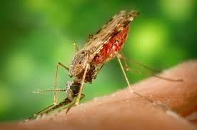 Anopheles - komar